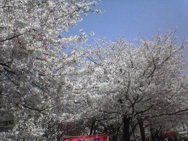 20050409_sakura